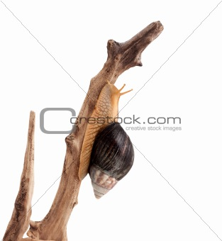 One brown snail