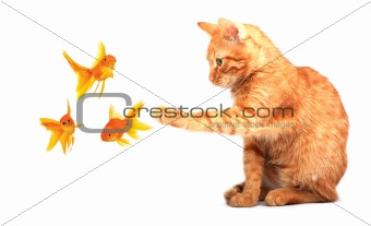Cat playing with goldfishes