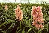 Pink orchids in a greenhouse