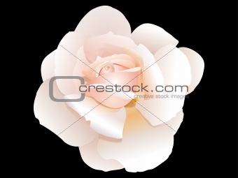 abstract pink rose detailed vector illustration