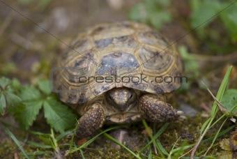 Tortoise in the Garden, Italy