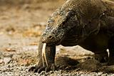 Komodo Dragon Forked Tongue Close