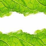 Fresh salad leaf, macro close-up.