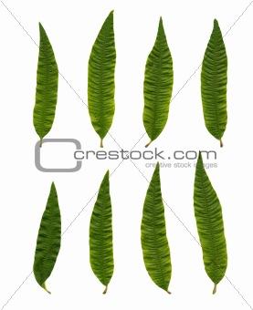 Aloysia triphylla (Lipia citriodora)