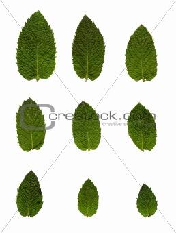 Green mint leafs