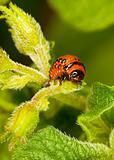 Red larva Colorado beetle eats leaves.