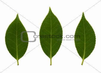 Camelia leaves