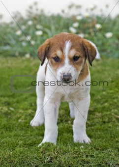 Beagle puppy in the garden