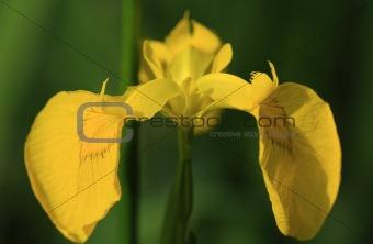 Close up of a yellow bearded iris