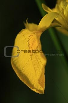 Single petal of a yellow bearded iris