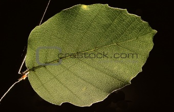 single leaf of a beech-tree