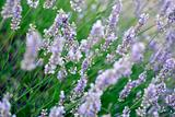 dreamy field of lavender