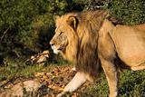 Male Lion walking with a scar after a battle