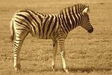 Zebra Fawn