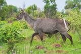 Waterbuck in the African bush