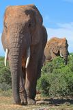 Elephants in the African bush