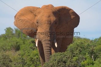 African Elephant with Ears Spread