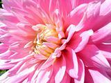 Pink Dahlia 4