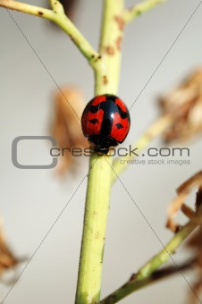A ladybird walking along a stem