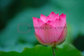 blooming lotus flower with sharp