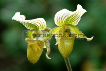 Green lady slipper (orchid)