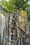 Ladder on Banyan tree.