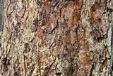 Gummy pine bark