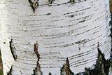 White Birch Bark