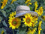 sunflower in the straw hat
