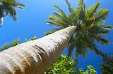 big palmtree