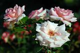 White roses #2