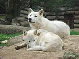 couples wolves