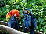 couples parrots