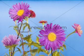Beautiful Flowers against the blue background.