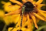 Wet dragonfly on yellow flower.