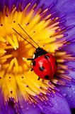 Ladybug and waterlily
