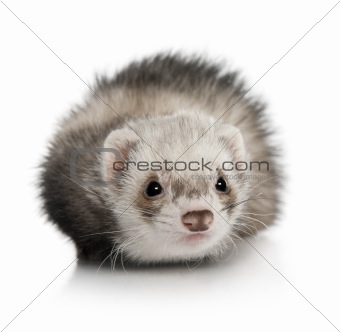 Portrait of young ferret in front of white background, studio sh