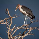Marabou Stork, Serengeti National Park, Serengeti, Tanzania, Afr
