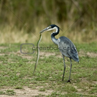 Black-headed Heron, Ardea melanocephala, with snake in beak