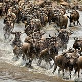 Wildebeest, crossing river Mara, Serengeti National Park, Sereng