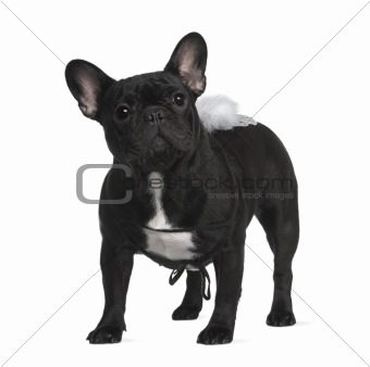French Bull dog, 1 year old, standing in front of white backgrou