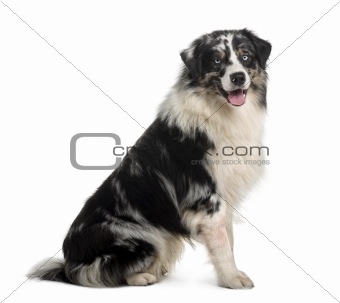 Australian Shepherd dog, 14 Months Old, sitting in front of whit