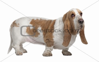Basset Hound, 3 Years Old, standing in front of white background