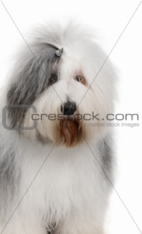 Old English Sheepdog, 2 Years old, in front of white background