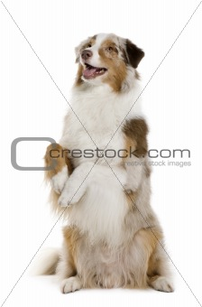 Australian Shepherd, 4 Years Old, standing on hind legs in front
