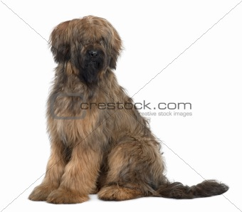 Briard, 9 Months Old, sitting in front of white background