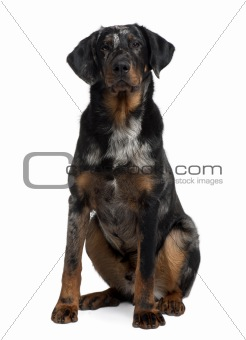 Beauceron, 7 Months old, sitting in front of white background