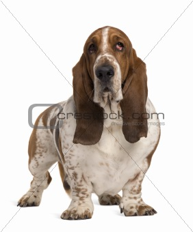 Basset Hound, 4 years old, standing in front of white background