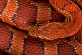 High angle view of corn snake or red rat snake, Pantherophis gut