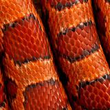 Close-up of corn snakeskin or red rat snakeskin, Pantherophis gu